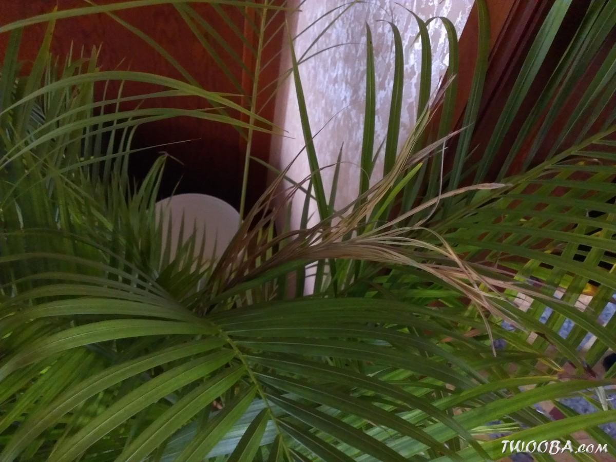 bruine bladeren palm na winter